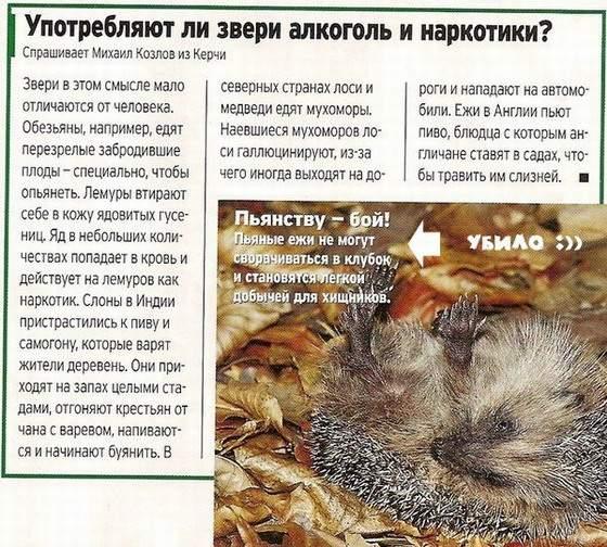 http://uath.org/images/hedgehogs/pyanstvu_boy.jpg