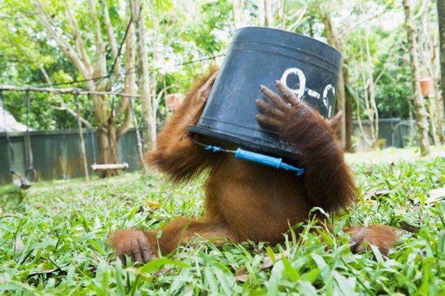 http://spynet.ru/images/2008/10/06/orangutangi/orangutangi_07.jpg