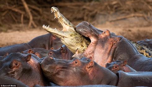 http://scienceblogs.com/tetrapodzoology/croc-killed-by-hippos-2-Vaclav-Silha-16-11-2009.jpg