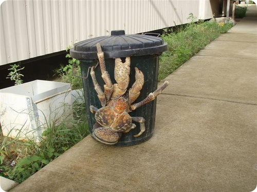 http://www.zoopicture.ru/wp-content/uploads/2009/04/coconutcrabs1.jpg
