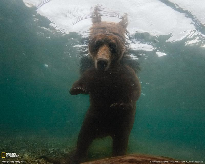 http://photography.nationalgeographic.com/staticfiles/NGS/Shared/StaticFiles/Photography/Images/POD/b/brown-bear-underwater-1248221-090909-xl.jpg