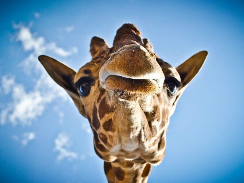 http://images.nationalgeographic.com/wpf/media-live/photos/000/368/cache/giraffe-mexico_36881_990x742.jpg