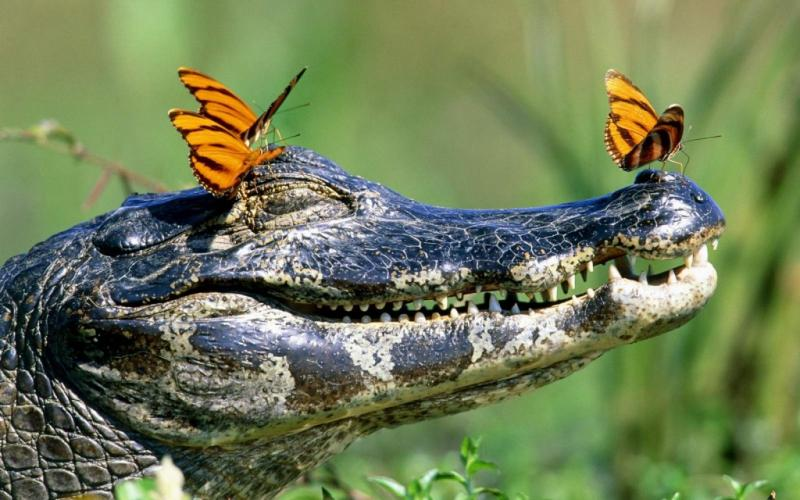 http://www.fun-pets.com/wp-content/uploads/2012/08/crocodile-butterfly-1024x640.jpg