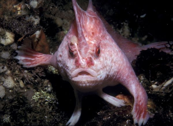 http://images.nationalgeographic.com/wpf/media-live/photos/000/208/cache/new-handfish-species-pink_20881_600x450.jpg