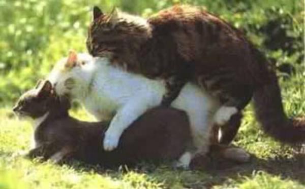 Порно как ебутсья коты