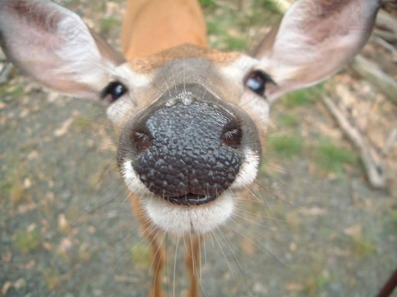 http://www.amusingtime.com/images/01/cute-deer-showing-his-nose.jpg