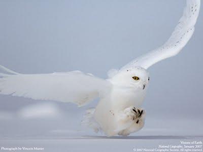 http://2.bp.blogspot.com/_ylUDYdrZw7Q/TIZFNjXjQ3I/AAAAAAAADCw/NPEPTJ6JPZ4/s640/NG-white_owl.jpg