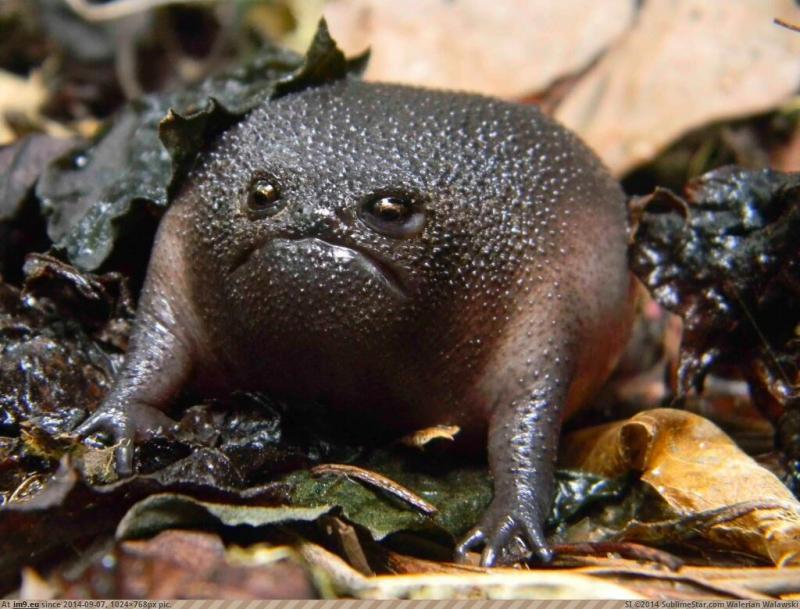 http://p.im9.eu/pics-black-rain-frog.jpg