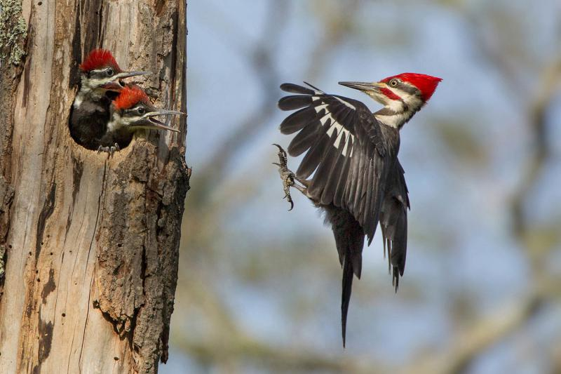 http://cdn.theatlantic.com/assets/media/img/photo/2015/06/2015-audubon-photography-awards/a15_PileatedWoodpecker/main_1500.jpg